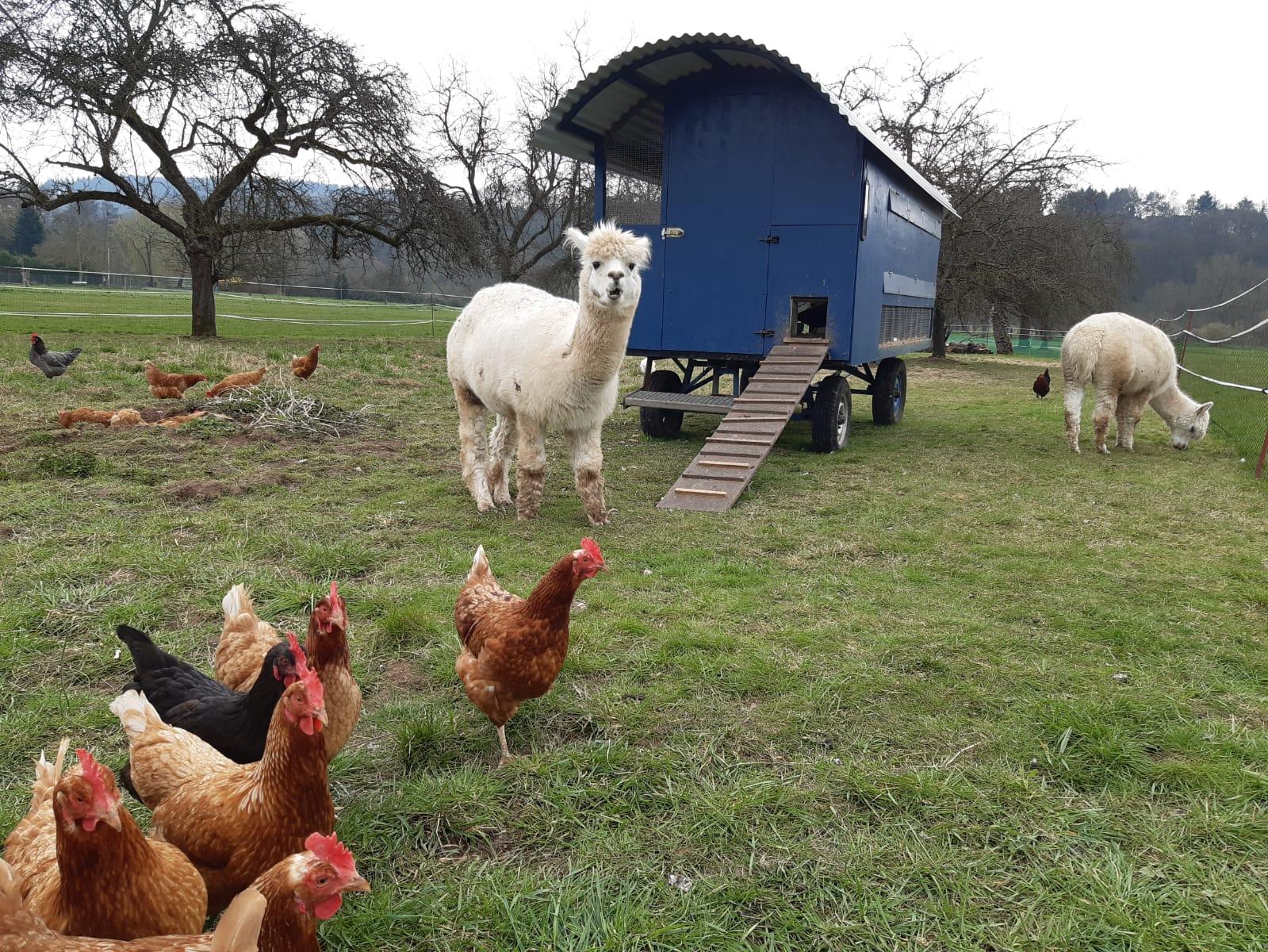 Im Hintergrund sind ein mobiler Hühnerstall und zwei Alpakas. Im Vordergrund mehrere Hühner.